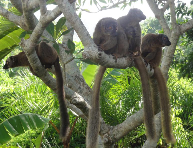 Les makis sont des lémuriens endémiques à Mayotte